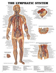 Lymphatic System Chart 20 w X 26 h