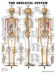 Skeletal System Chart 20 w X 26 h