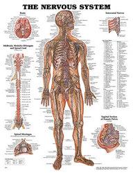 Nervous System Chart 20 w X 26 h