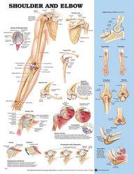 Shoulder/Elbow Chart 20 w X 26 h