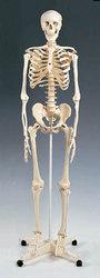 Skeleton Model Plastic