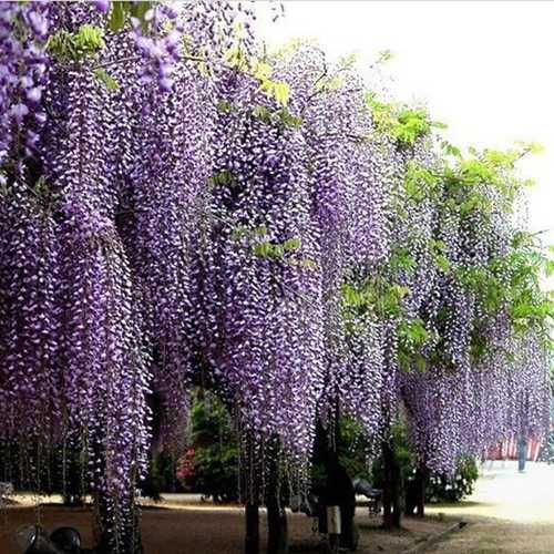 10Pcs Purple Wisteria Flower Seeds Wisteria Sinensis For DIY Home Garden Plant