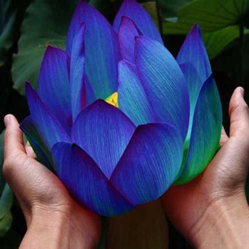 10Pcs Flower Seeds Blue Lotus Seeds Aquatic Plants Water Lily Plants Midnight Blue Lotus