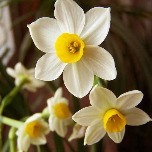 100Pcs Flower Daffodil Seeds Bonsai Flower Seeds Aquatic Plants Double Petals Narcissus Garden Plant
