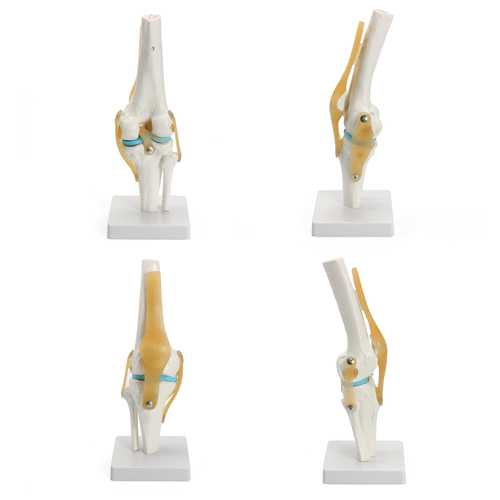 Knee Joint Model Human Skeleton Anatomy Study Display Teaching Medical 1 Set