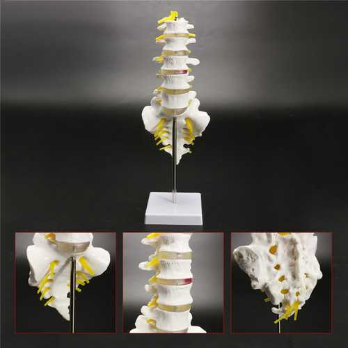 12''Life Size Chiropractic Human Anatomical Lumbar Vertebral Spine Anatomy Model
