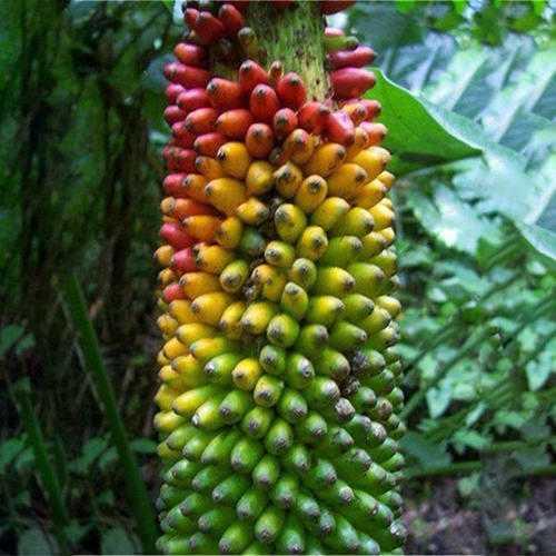 Egrow 100Pcs/Bag Dwarf Colorful Banana Seeds Particles Potted Banana Seeds Beautiful Garden Bonsai Plants Original Package Seeds