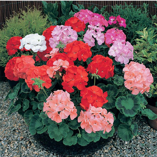 100Pcs/Bag Rare Geranium Seed Bonsai Potted Balcony Planting Seasons Pelargonium Potted Flower Seeds legant Mix-Color Geranium Plant Perennial Seeds Geranium Flower Pelargonium Graveolens Flowers Seed