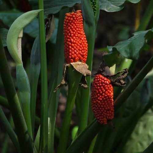 Egrow 10 pcs Garden Fruit Seeds Red Fruit Corn Seeds Bonsai Planting