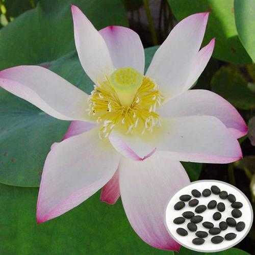 10pcs Flammule Bowl Lotus Seeds Garden Aquatic Plant