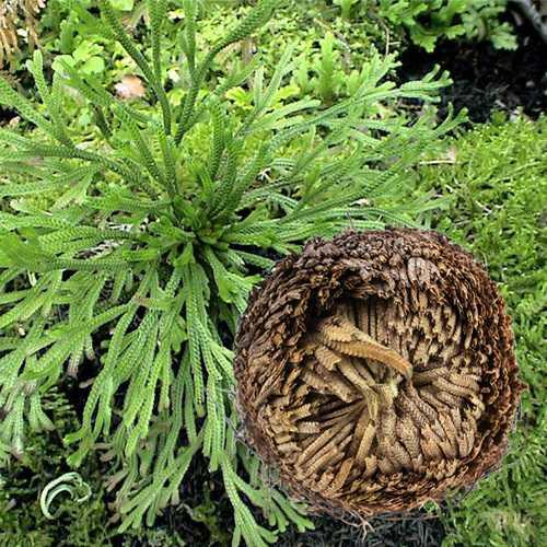 1Pcs Resurrection Plants Hydrophile Rose Of Jericho Dinosaur Plant Air Fern Spike Moss