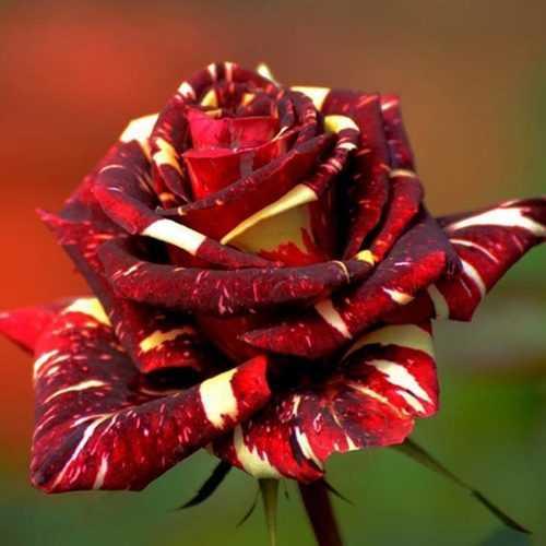 30Pcs Meteoric Shower Rose Seeds Abracadabra Seeds Flower Bonsai DIY Home Garden Dec