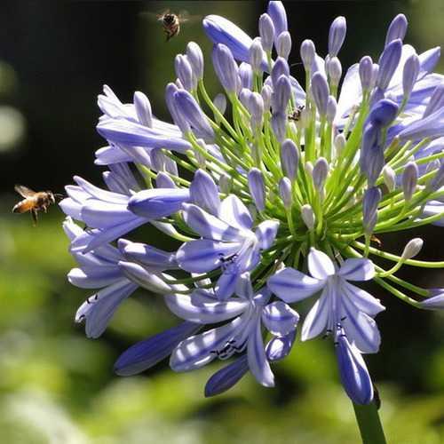 5pcs Purple Clivia Seed Agapanthus Africanus Seeds