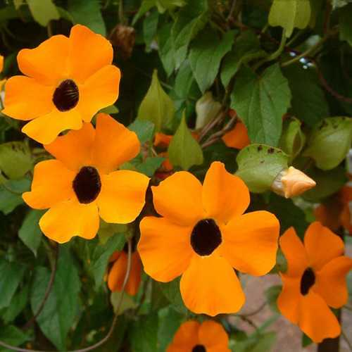 10PCS Black Eyed Susan Vine Thunbergia Alata Seeds