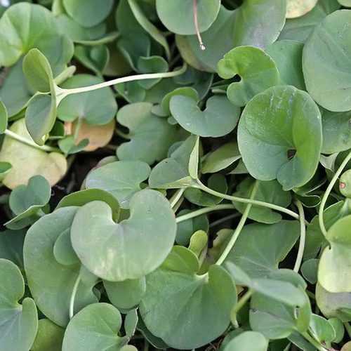 10pcs Dichondra Micrantha Urban Seed Hanging Plants