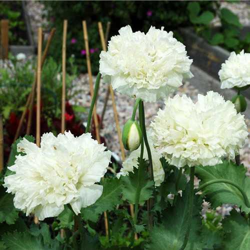 10pcs Mixture Color Papaver Rhoeas Europe Corn Poppy Flower Seeds