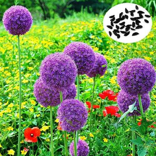 25pcs Allium Giganteum Seeds Purple Plant DIY Home Garden