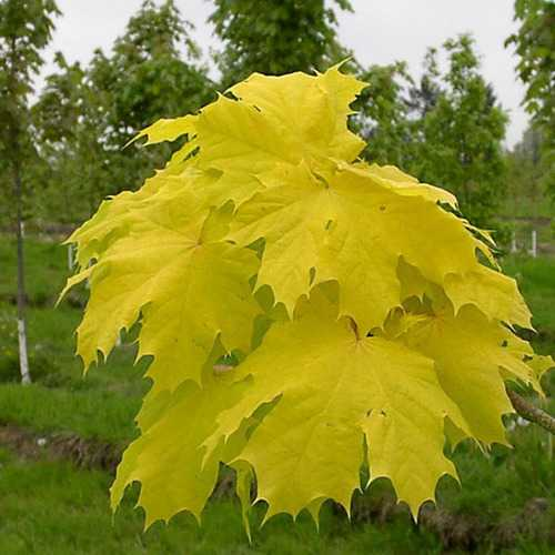 10pcs Norway Maple Seeds Gold Leaf Garden Street Park Plant Seeds