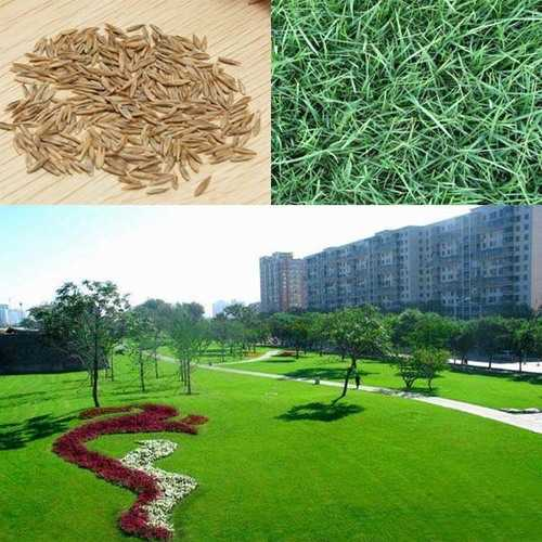 10000pcs Tall Fescue Grass Seeds Garden Ideal Lawn