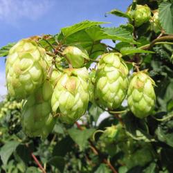 Egrow 100Pc/sPack Hops Seeds Humulus Lupulus Brewing Beer Plant Tea Herb Brew German Magnum