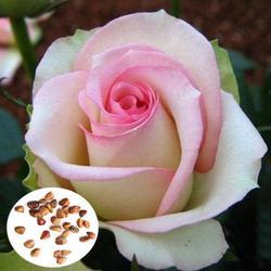 50pcs Pink White Rose Seeds DIY Home Garden Dec