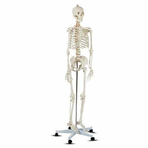 Medical School Human Anatomy Class Life-size Skeleton Model