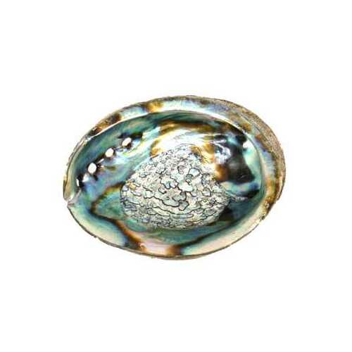"3"" - 4"" Abalone Shell incense burner"
