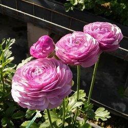 100pcs Ranunculus Flower Seeds