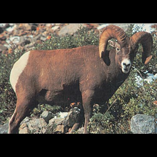Delta McKenzie Tru-Life Target Bighorn Sheep