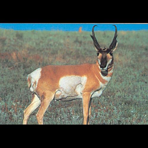 Delta McKenzie Tru-Life Target Antelope