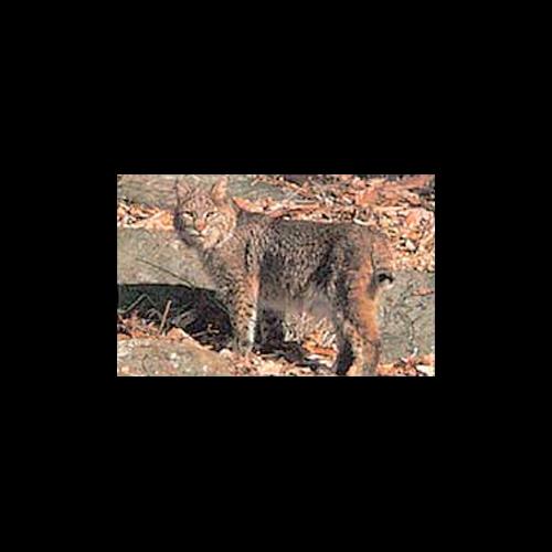Delta #116 Bobcat Target