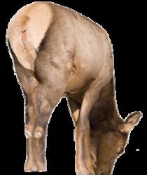 Miss September Elk Decoy