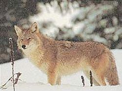 Delta Coyote Target