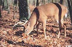 Delta #102 Whitetail Deer Target