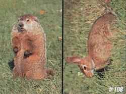 *DS* #108 Woodchuck & Rabbit Target
