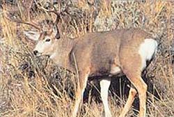 Delta #109 Mule Deer Broadside Target