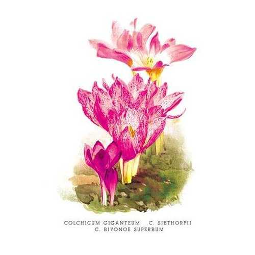 Colchicum Giganteum: C. Sibthorpii C. Bivonoe Superbum (Paper Poster)