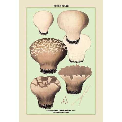 Edible Fungi: Cup Shaped Puff-Ball (Paper Poster)
