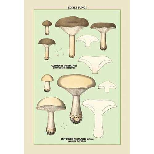 Edible Fungi: Clouded Clitocybe (Paper Poster)