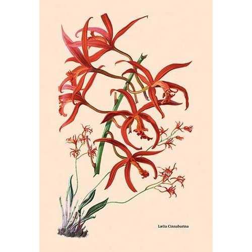 Orchid: Laelia Cinnabarina (Paper Poster)