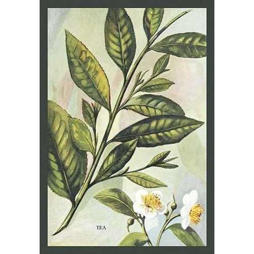 Tea Plant #2 (Fine Art Giclee)