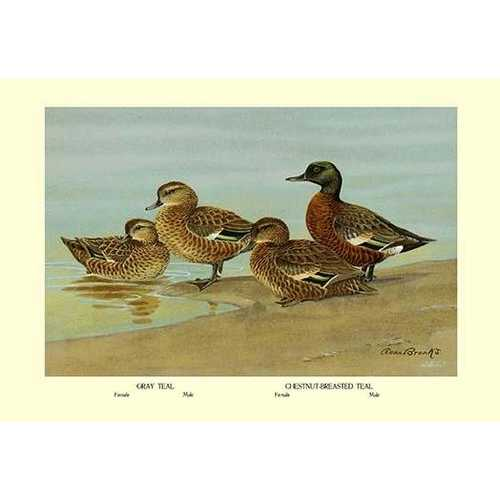 Gray Teal and Chestnut-Breasted Teal (Canvas Art)