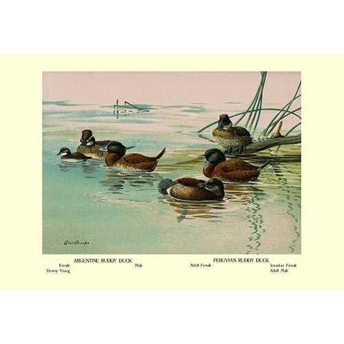 Argentine and Peruvian Ruddy Ducks (Canvas Art)