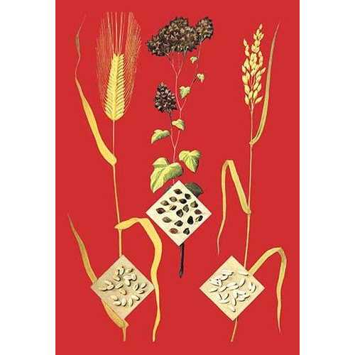 Grains: Barley, Buckwheat, and Rice #1 (Paper Poster)