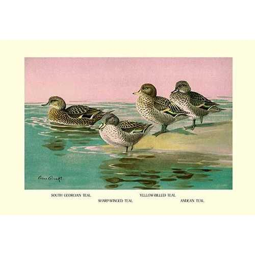 Four Types of Teal Ducks (Fine Art Giclee)