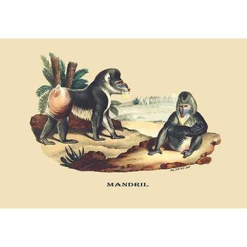 Mandril (Canvas Art)