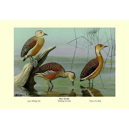 Lesser Whistling Teal, Wandering Tree Duck, and Fulvous Tree Duck (Framed Poster)
