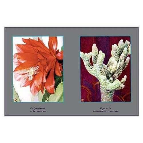 Epiphyllum Ackermarnii (Paper Poster)
