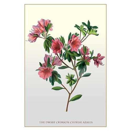The Dwarf Crimson Chinese Azalea (Paper Poster)