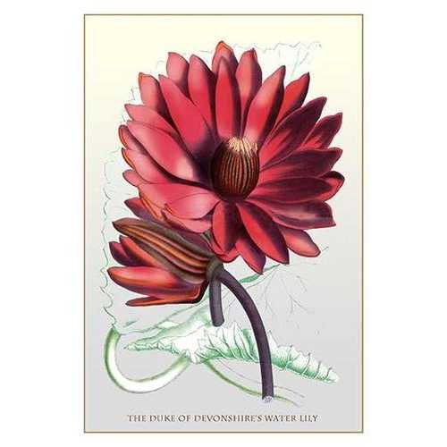 The Duke of Devonshire's Water Lily (Paper Poster)